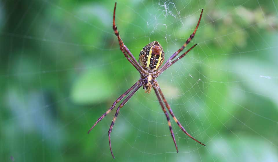 Saint Andrews Cross Spider