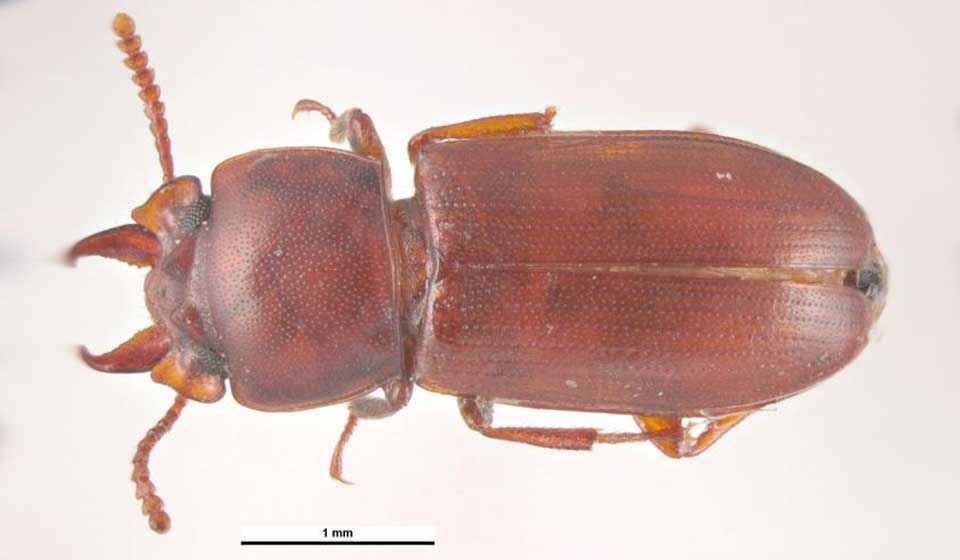 Broadhorned Flour Beetle