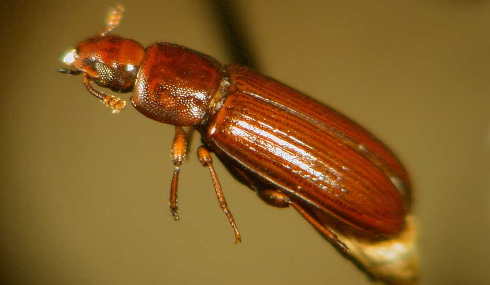 Rust-red Flour Beetle